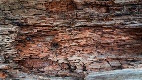 Fondo di legno alimentare dalle termiti, fondo di legno fotografie stock