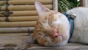 Fondo di legno del gatto del fronte di Tri colori di sonno Immagine Stock Libera da Diritti