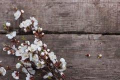 Fondo di legno strutturato su cui si trova un ramo fiorire delle albicocche Fotografia Stock