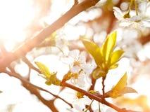 Luce solare sul fiore della molla Fotografia Stock