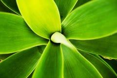 Fondo di macro del cactus Fotografie Stock Libere da Diritti