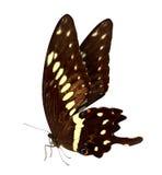 Fondo di macro della farfalla Fotografia Stock