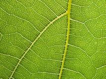 Fondo di macro della foglia dell'uva Immagine Stock Libera da Diritti