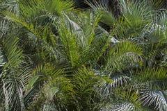 Fondo di molte foglie di palma Fotografia Stock Libera da Diritti