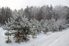 Fondo di Natale con gli alberi nevosi e le precipitazioni nevose pesanti Immagini Stock