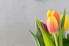 Fondo di pasqua del tulipano della primavera con lo spazio vuoto della copia Immagini Stock