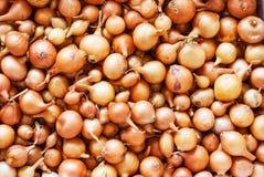 Fondo di piccole cipolle pronte per la piantatura dei semi Concetto agr fotografia stock libera da diritti