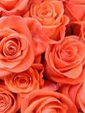 Fondo di piccole rose rosse ed arancio solide fotografia stock