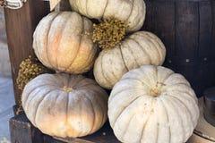 Fondo di ringraziamento della zucca di autunno Fotografia Stock Libera da Diritti