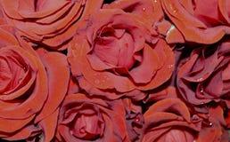 Fondo di rosso della molla di amore della rugiada del fiore di Rosa macro Immagine Stock