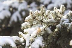 Fondo di schizzo di inverno con i rami dell'abete Fotografia Stock Libera da Diritti