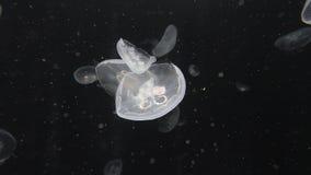 Fondo di spostamento delle meduse archivi video