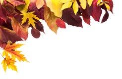 Fondo di stagione di caduta, foglie di acero gialle Fotografie Stock