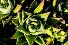 Fondo di struttura del cactus Immagini Stock