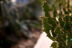 Fondo di struttura del cactus cactus verde in serra in giardino botanico immagine stock