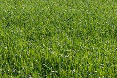 Fondo di struttura del campo della pianta di cereale Fotografie Stock Libere da Diritti