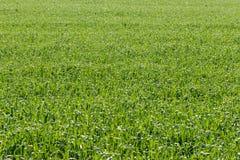 Fondo di struttura del campo della pianta di cereale Fotografia Stock