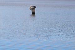 Fondo di struttura dell'acqua con il pellicano australiano solo che si siede su un palo fotografia stock libera da diritti