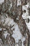 Fondo di struttura della corteccia di betulla fotografia stock libera da diritti