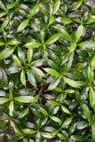 Fondo di struttura delle foglie verdi Immagine Stock