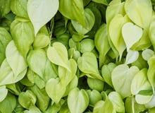 Fondo di struttura delle foglie verdi Immagini Stock Libere da Diritti