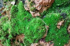 Fondo di strutture del MOS MOS verde su fondo di pietra fotografia stock libera da diritti