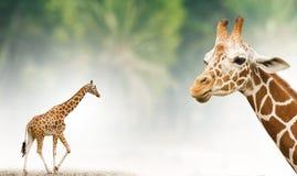Fondo di tema della giraffa Fotografia Stock Libera da Diritti