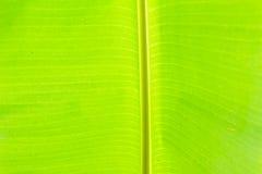 Fondo di verde della foglia della banana Fotografie Stock