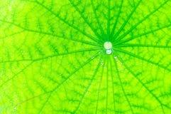 Fondo di verde della foglia di Lotus fotografia stock libera da diritti
