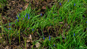 Fondo di verde della molla naturale Erba della primavera e piccolo giacinto del muscari che fioriscono su un prato verde in giard Fotografia Stock