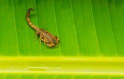 Fondo di verde dello scorpione di giallo di Tityus Smithii dello scorpione immagini stock libere da diritti