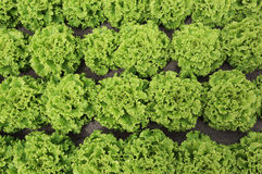 fondo di verde fertile di lattuga Fotografia Stock Libera da Diritti