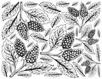 Fondo disegnato a mano di Amora Verde Berries Fotografia Stock Libera da Diritti