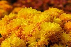 Fondo dorato dei crisantemi Fotografia Stock Libera da Diritti