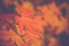 Fondo dorato della sfuocatura di autunno con le foglie di acero di colore stagioni Stilizzato come vecchio stile d'annata Fondo m Fotografia Stock