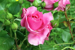 Fondo dos del rosa de Rose foto de archivo libre de regalías