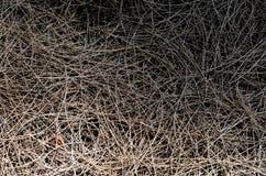 Fondo e struttura delle foglie australiane asciutte del pino fotografia stock