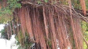 Fondo e vento dell'albero di banyan archivi video