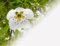 Fondo en árbol floreciente de la foto macra baja Foto de archivo
