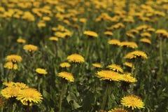 Fondo enmascarado floral Dientes de le?n amarillos en el campo imagenes de archivo
