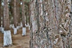 Fondo enmascarado Primer del árbol de pino fotografía de archivo