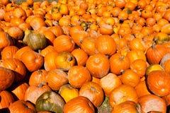 Fondo enorme del raccolto della zucca di Halloween Fotografia Stock