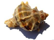 Fondo espiral del seashell Fotografía de archivo libre de regalías