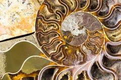 Fondo fósil del primer de la amonita espiral Imágenes de archivo libres de regalías