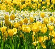 Fondo floral amarillo de la primavera de los tulipanes y de los narcisos Imagen de archivo