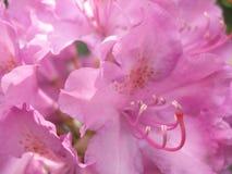 Fondo floral blured rosa blando Foto de archivo libre de regalías