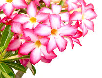Fondo floral. Ciérrese para arriba de Adenium tropical del rosa de la flor Fotografía de archivo