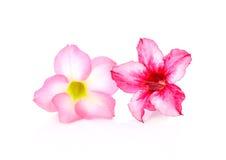 Fondo floral Ciérrese para arriba de Adenium tropical del rosa de la flor des Imágenes de archivo libres de regalías