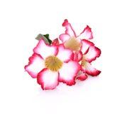 Fondo floral Ciérrese para arriba de Adenium tropical del rosa de la flor des Fotografía de archivo libre de regalías