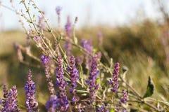 Fondo floral colorido asombrosamente hermoso Flores de Salvia en rayos de la luz del sol del verano en aire libre en la macro de  foto de archivo libre de regalías